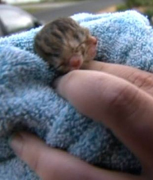 Two-Faced Janus Kitten