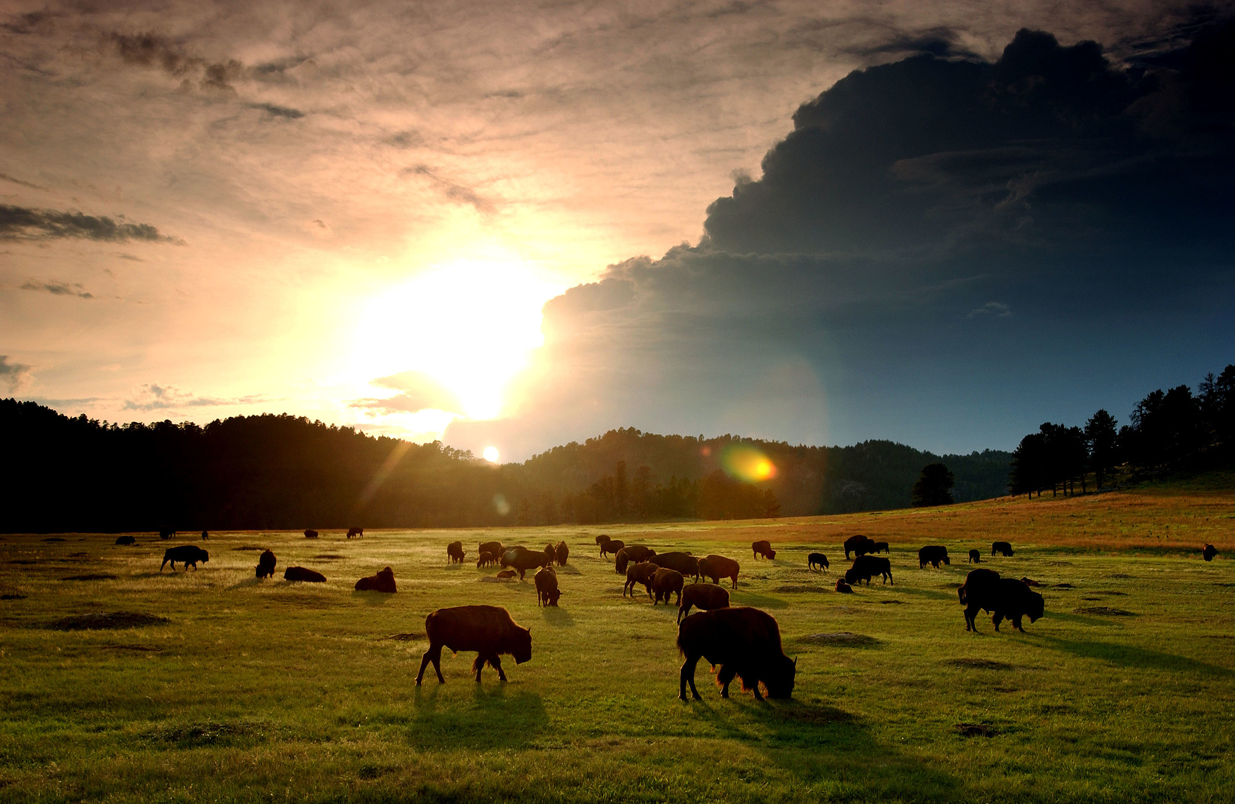 Bison roam the Black Hills of South Dakota